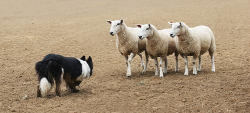 photo chien de troupeau avec moutons